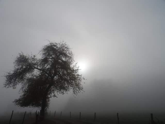 #wppnaturallight #fog #mist #tree #nature #freetoedit