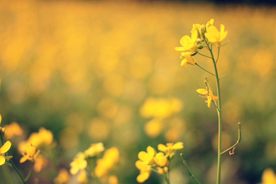 #Bokhe   #mustard_flower   #depthoffield   #canonphotos