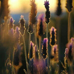 sun flowers nature