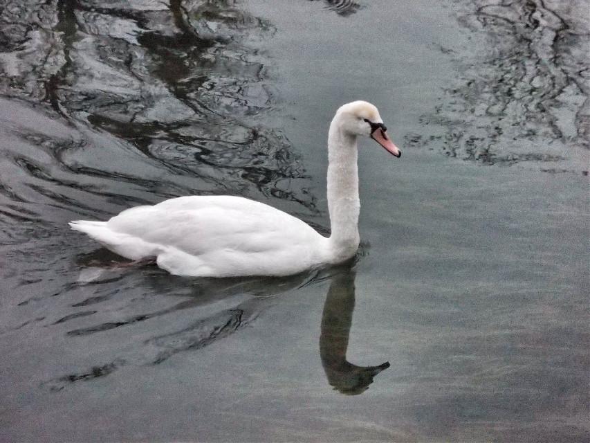-4. Swan. #petsandanimals #swan #white #water #reflection #winter #travel #emotion #nature
