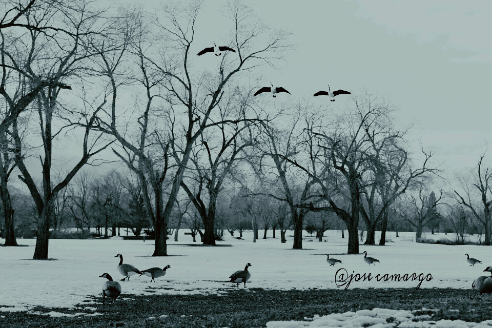 #winter #snow #photography #blackandwhite #nature #love  #birds #ducks #trees #landscape #seasons #nikon