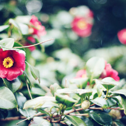 trip travel flower camellia red