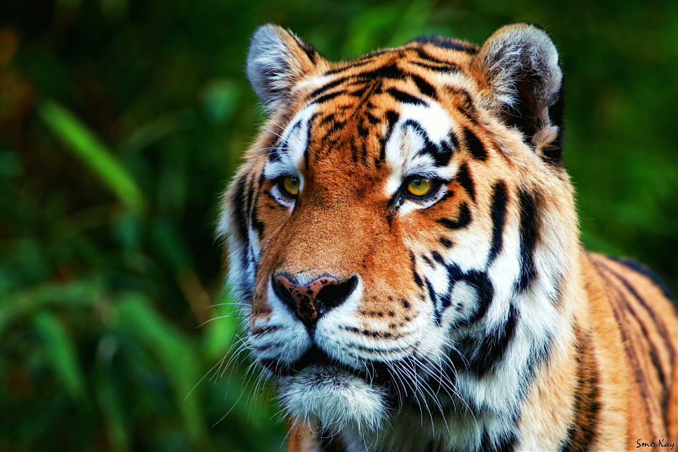 #tiger #photography #nature #petsandanimals #animals #zoo #cat