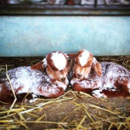 goat photography wppanimal petsandanimals freetoedit