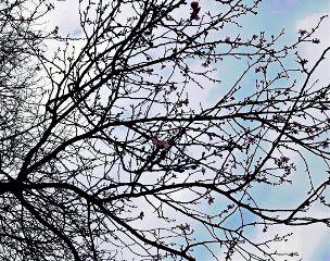 pesco tree sky flowers flower