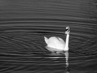 petsandanimals blackandwhite swan love cute
