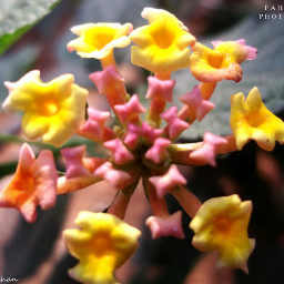 yellow_flower nature photography freetoedit