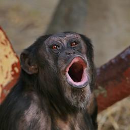 getgoofy chimpanzee photography nature petsandanimals