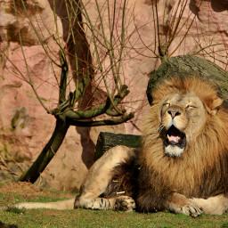 getgoofy lion photography nature petsandanimals