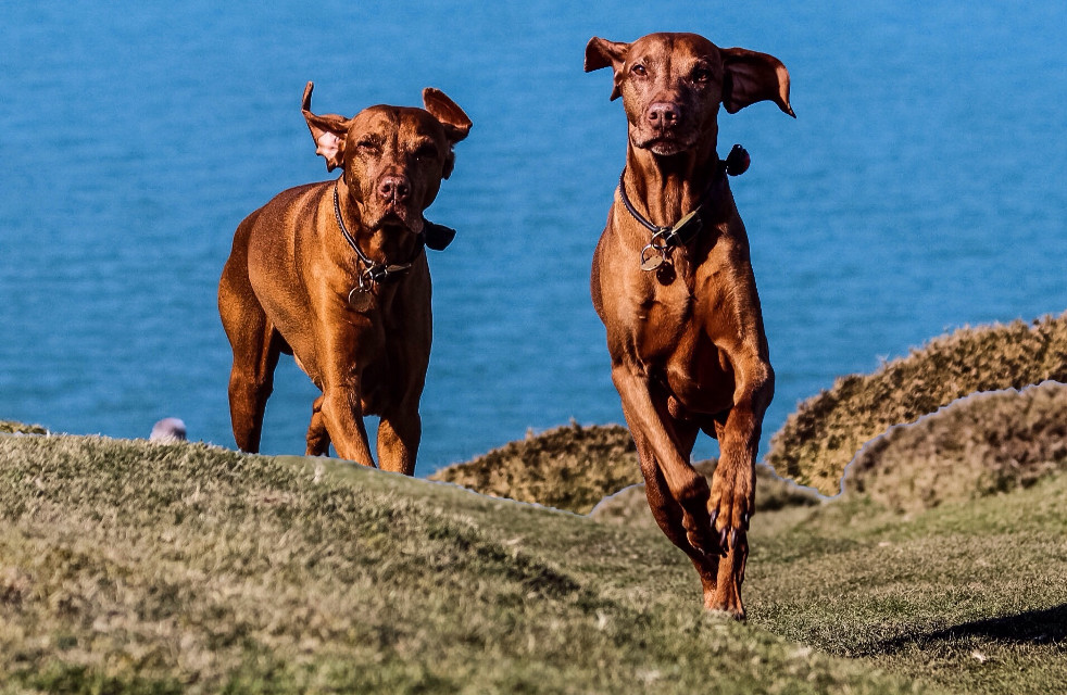 Seeing Double... #overlay Harvey running in the cliffs  with the wind in his ears. #petsandanimals #ocean #action