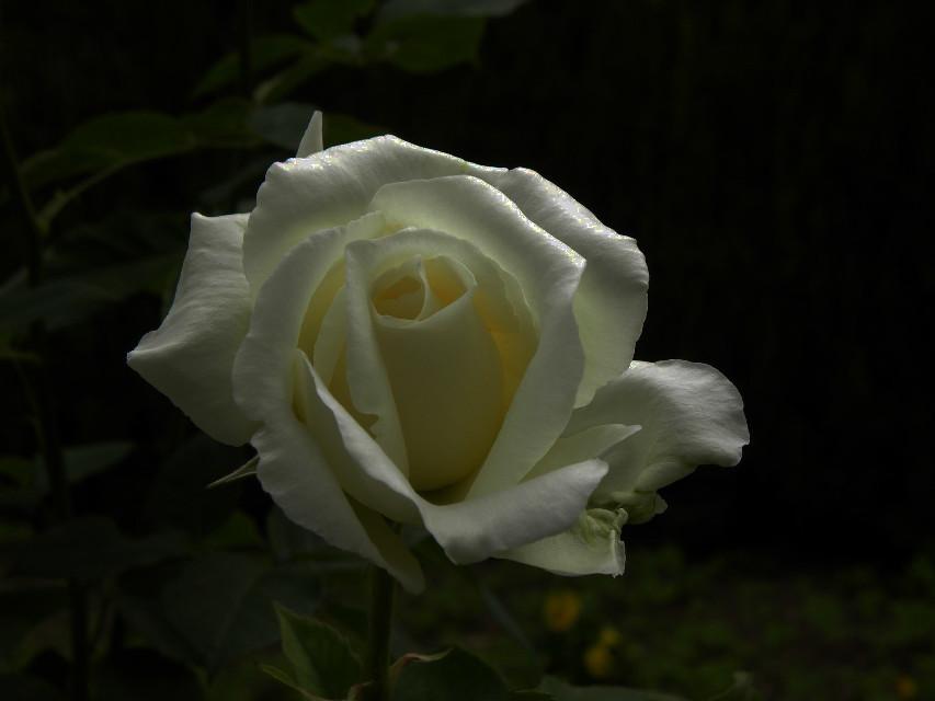 #rose #darkandlight #night #art #photography