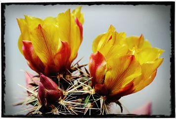 crisp desertbloom