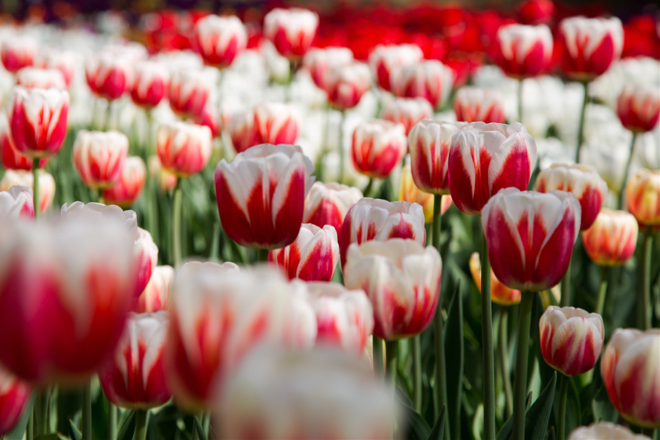 Tulip #colorful #emotions #cute #love #photography #spring  #Beijing