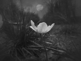 blackandwhite nature spring flower photography