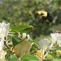 shotoftheday bee nature honeysuckle