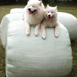 wppwhite dog dogs samoyed interesting freetoedit